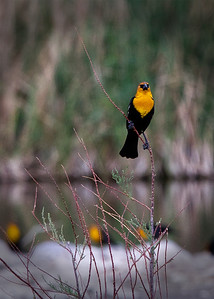 WH Blackbird 3644