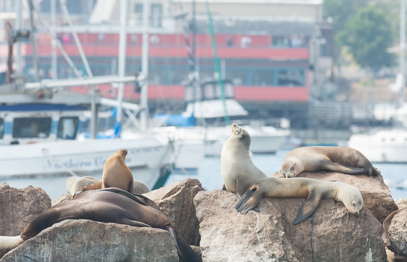 California Sea Lions, Monterrey Bay, California