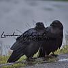 Yellowstone Ravens