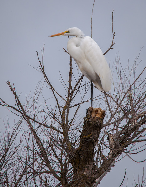 Great Egret in Tree 7276