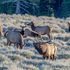 Bull Elk Bugles and Harem