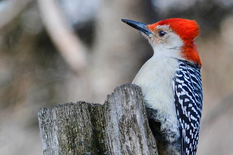 Woodpecker Punk