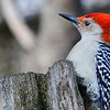 Woodpecker Punk