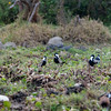 Vanellus spinosus