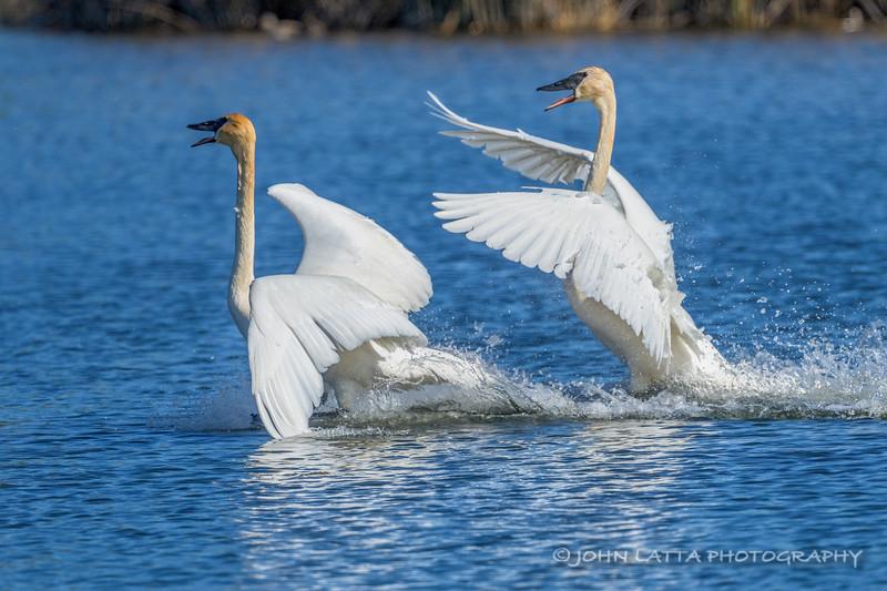 Trumpeter Swan Pair Exhibiting Territorial Behavior