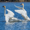 Trumpeter Swan Pair Exhibiting Territorial Behavior