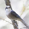 Whiskyjack (Gray Jay)