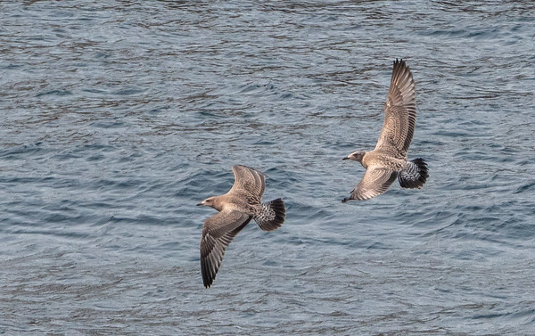 Juvenile American herring gulls