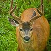 "Mule deer in Olympic National Park in Washington.<br /> <br /> Photo by Kyle Spradley | © Kyle Spradley Photography |  <a href=""http://www.kspradleyphoto.com"">http://www.kspradleyphoto.com</a>"