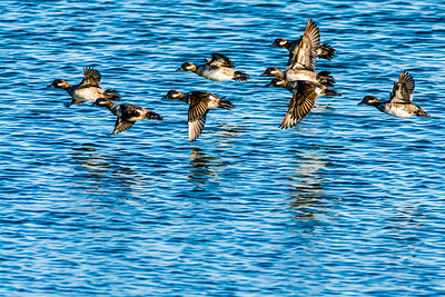 Flock of Buffleheads
