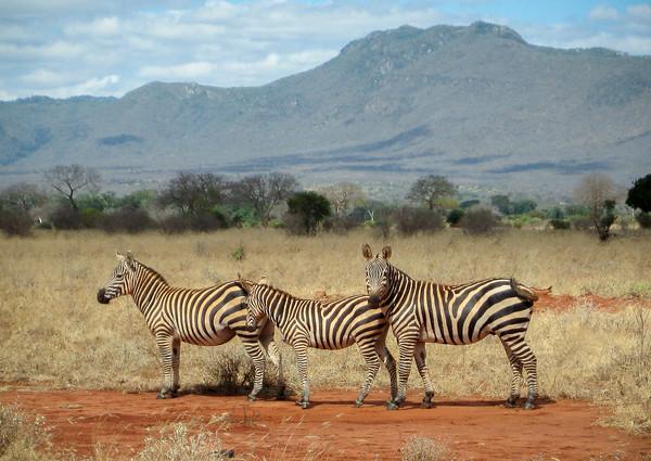 Three Zebra