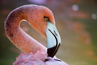 San Diego Flamingo