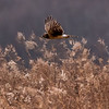 Northern Harrier in Flight 12/28/16
