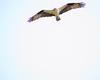 Osprey / SeaHawk (Pandion haliaetus)