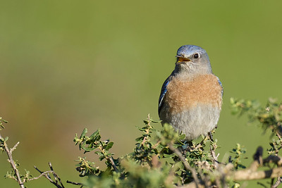 Western Bluebird at Point Reyes