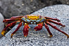Sally lightfoot crab, Galapagos, Islands, Ecuador.