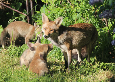 A Fox with her cubs in my garden in South London