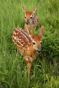 Whitetail Fawns – Cutest Animals on the Face of this Tlanet?