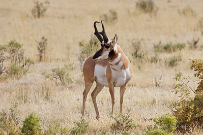 Prairie Racer - Pronghorn Antelope