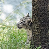 Snow Leopard cub peeking out from behind a tree