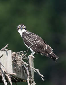 Osprey with interesting hair