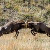 Rocky Mounatin Big Horn Sheep