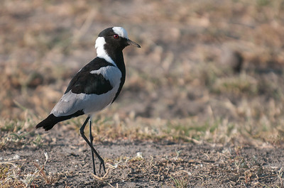 Lapwing, Blacksmith