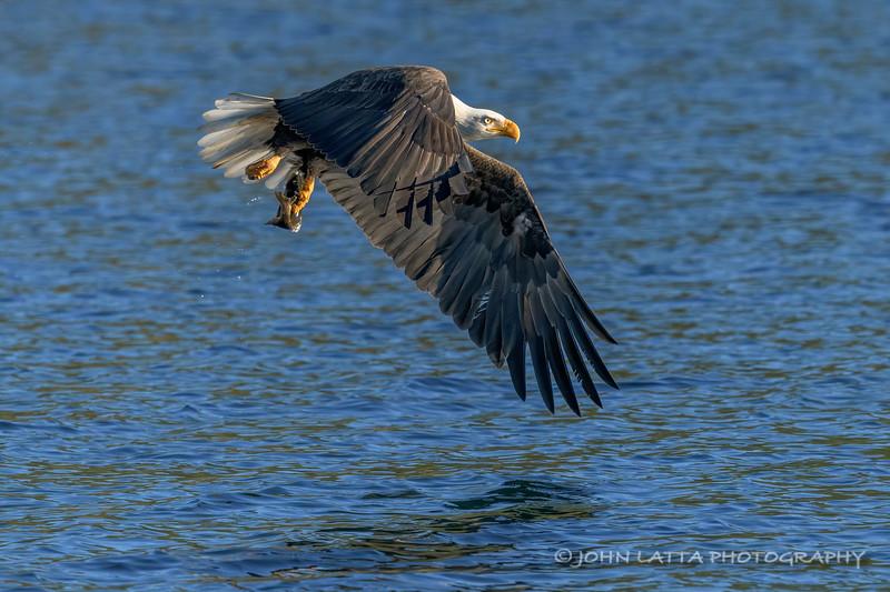 Eagle Snatches Kokanee No. 3