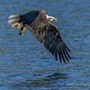 Eagle Snatches Kokanee No. 3