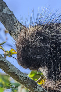 Porcupine (Erethizon dorsatum), Muskoka, Ontario, Canada