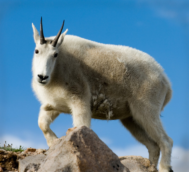 A Billy (Oreamnos americanus, Colorado Goat, or Mountain Goat) shedding the last remnants of his winter coat.