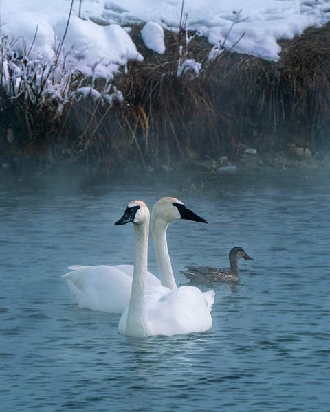 White swans in hot springs