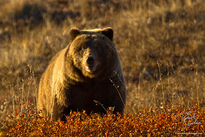 Grizzly Bear foraging in the evening light, Denali National Park