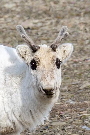 Svalbard reindeer portrait