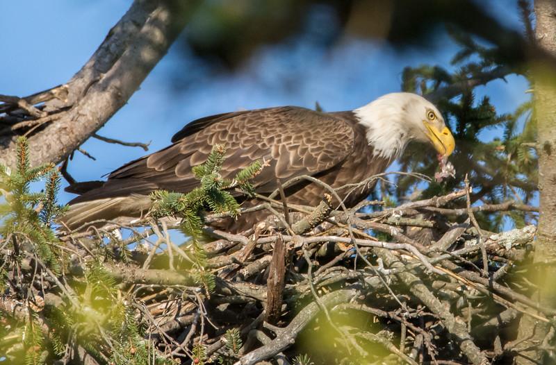 Bald Eagle Feeding Eaglet 4/24/16