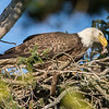 Bald Eagle Feeding Eaglet 4/24/16