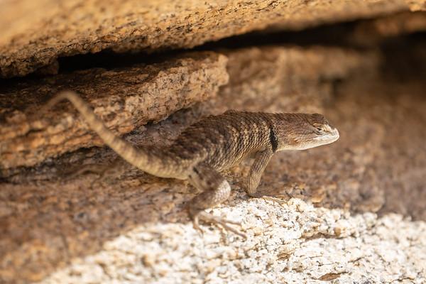Lizard, Joshua Tree