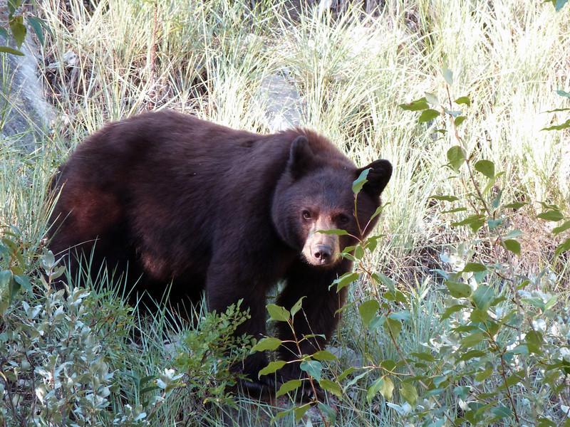 Black Bear - Alberta Canada