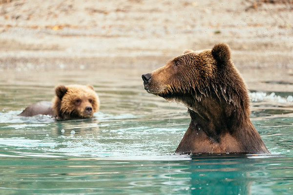 Brown bear mom and cub, Lake Clark NP, Alaska.