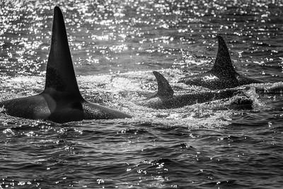 Orca pod ... Vancouver Island