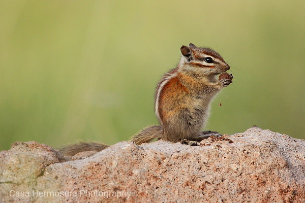 Chipmunk with a Snack