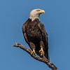 Bald Eagle 5/21/17