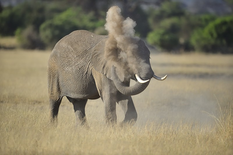 Elephant blowing dust over himself in Amboseli National Park, Kenya, East Africa
