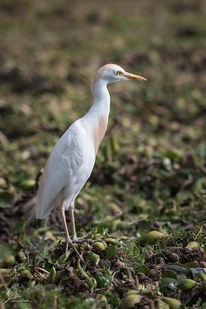 Egret, (Western) Cattle