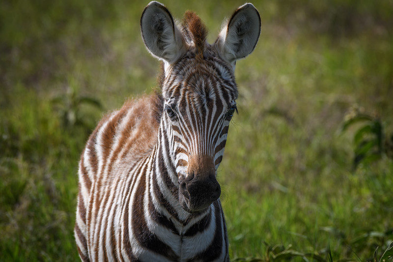 Young zebra in Amboseli National Park, Kenya, East Africa