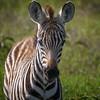 Young zebra in Amboseli National Park, Kenya, East Africa