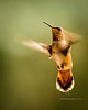 Humming Bird (Trochilidae)