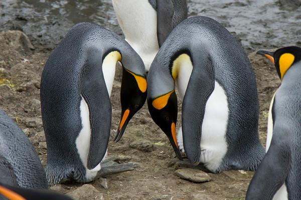King penguin greeting bow