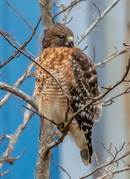 Red-Shouldered Hawk Perched in a Tree 1/23/19