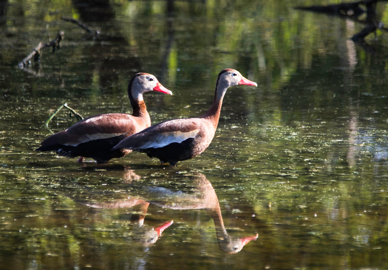 Black-bellied Whistling-Ducks reflections